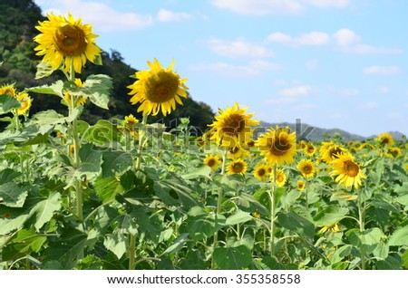 Sunflower the yellow colour have a sky is background in Lopburi, Thailand.