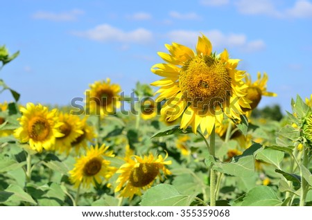 Sunflower the yellow colour in Lopburi, Thailand.