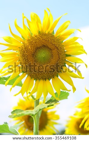 Sunflower the yellow colour is a beautiful of Thailand.