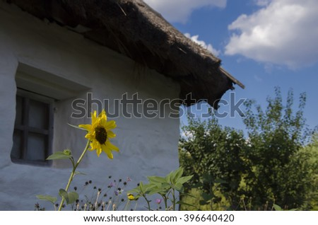 sunflower village window. View of the whitewashed cottage and a lone sunflower - stock photo