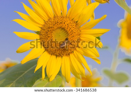 Sunflower with a little bee