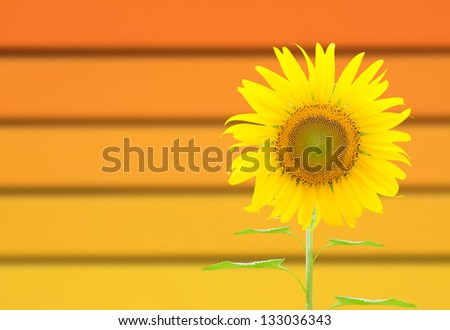 Sunflower with background texture
