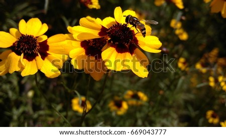 Sunflower with bee closeup