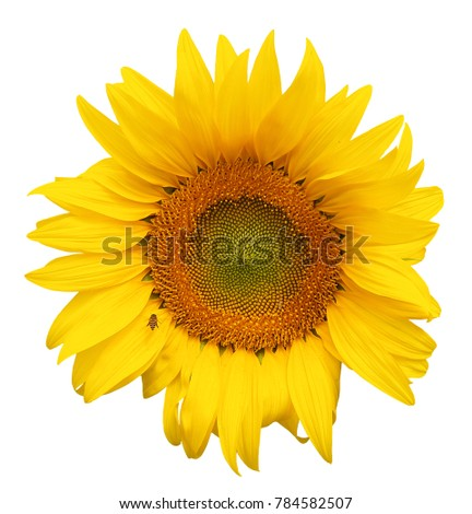 Sunflower with bee isolated on white background
