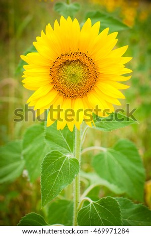 Sunflower with bees close up. Bright yellow sunflowers on green background. Also available in horizontal format.