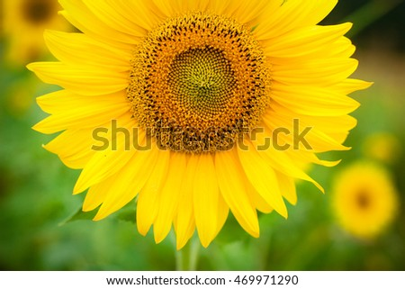 Sunflower with bees close up. Bright yellow sunflowers on green background. Also available in vertical format.