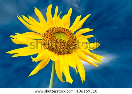 sunflower with blue sky background - stock photo