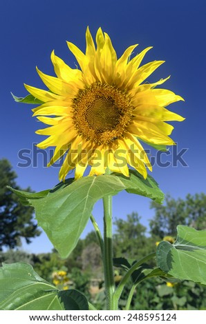 sunflower with blue sky in the background - stock photo
