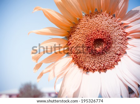 Sunflower with blue sky in Vintage and pastel style.