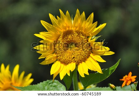 Sunflower with bugs