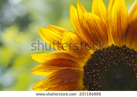 Sunflower with colorful leaves - stock photo