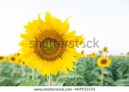 sunflower with green leaves in garden