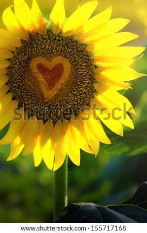 Sunflower with heart inside, gift of love.