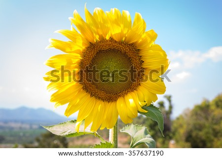 sunflower with hill background