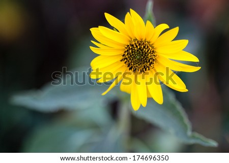 Sunflower with natural background  - stock photo