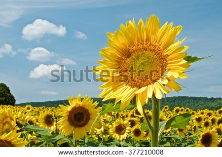 Sunflower with sunflower field and blue sky - stock photo