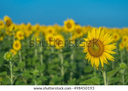 Sunflower with sunflower field and blue sky
