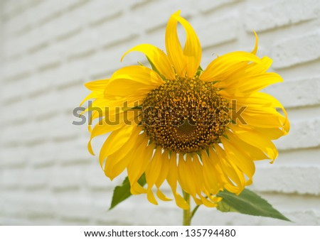 Sunflower with white brick wall.