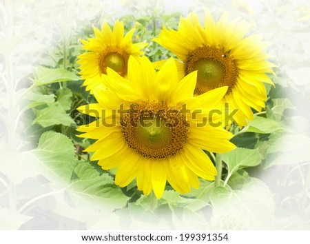 Sunflower yellow flower, beautiful abstract natural background.