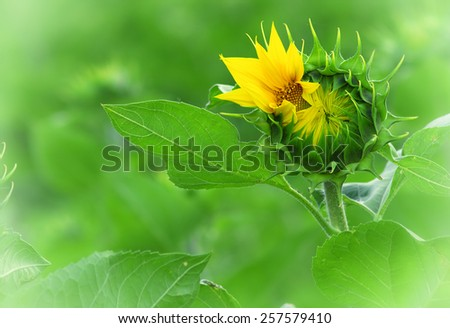 Sunflower young bud blooming - stock photo