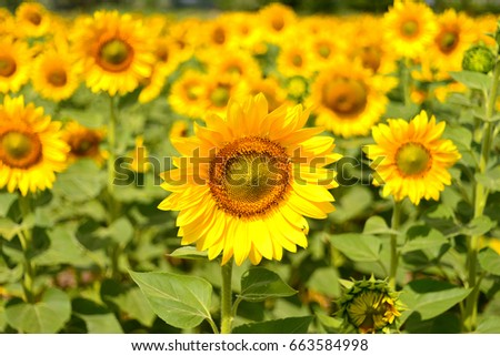 Sunflowers against the background of a beautiful field. Nature, yellow flowers