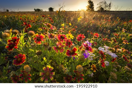 Sunflowers and Indian blanket wildflowers in early dawn light - stock photo