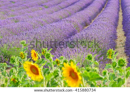 Sunflowers and rows of Lavender summer field close up, France - stock photo