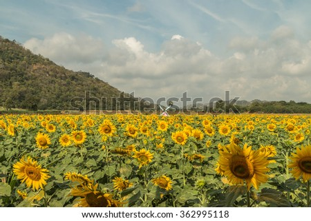 Sunflowers are one crop season has deep roots. The roots will grow at a level 30 cm from the surface. A tall stem, leaves, driven alternately on the stem. The ramifications of the trunk