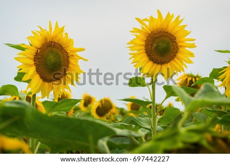Sunflowers are very useful and look beautiful. August evening after the rain. Beautiful summer background on different topics.