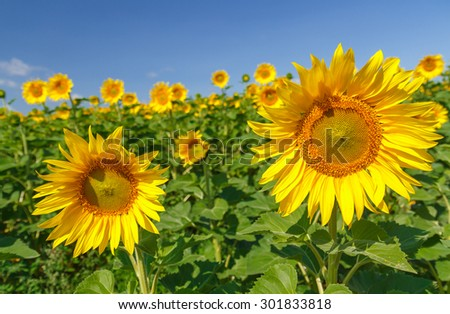 Sunflowers at a sunny day