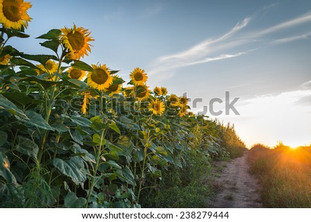 Sunflowers at field in sunset - stock photo