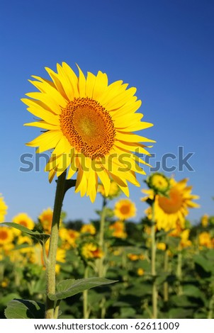 sunflowers at the field at the sunrise in summer - stock photo