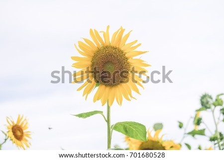 Sunflowers bloom with bee pollen in the garden, white background.