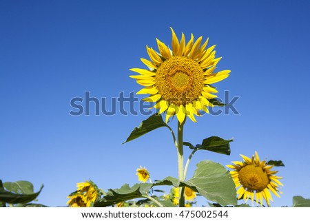 Sunflowers blooming in farm with blue sky