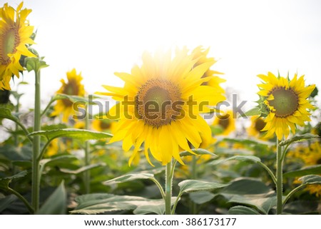 Sunflowers blooming on a background