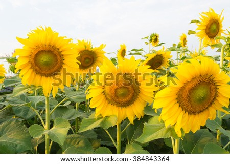 sunflowers blossom in fields