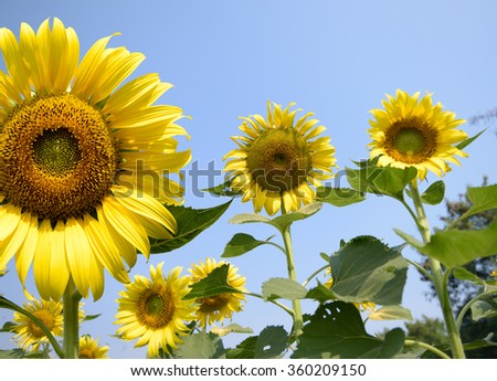Sunflowers farming helping to increase honey bee population Asia, large colorful yellow sunflowers with blue sky background