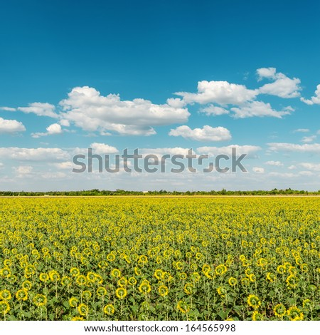 sunflowers field and blue cloudy sky - stock photo