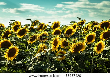 sunflowers field in the countryside of Friuli Venezia-Giulia, Italy