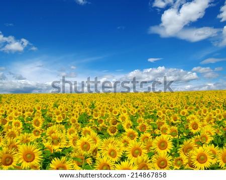 sunflowers field on cloudy blue sky   - stock photo