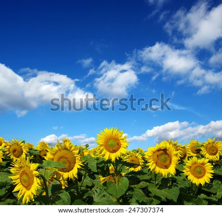 sunflowers field on sky background - stock photo