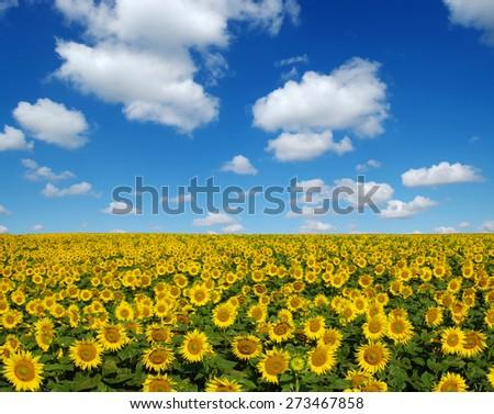 sunflowers field on sky background - stock photo