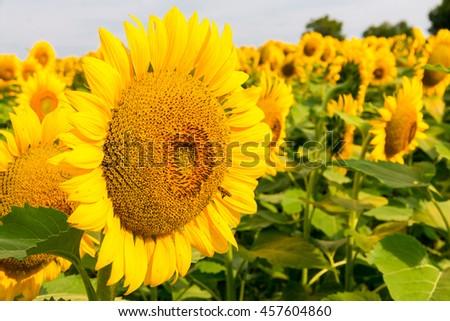 Sunflowers field, summer landscape - stock photo