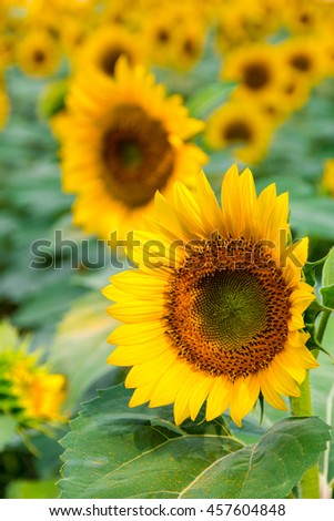 Sunflowers field, summer natural background - stock photo