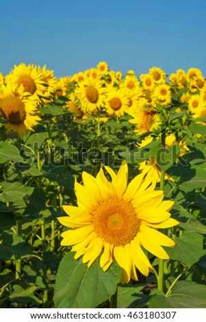 Sunflowers field under clear sky. Bright helianthus, close up