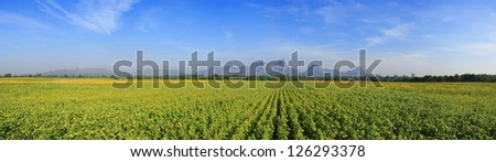 sunflowers field with Blue sky, Thailand
