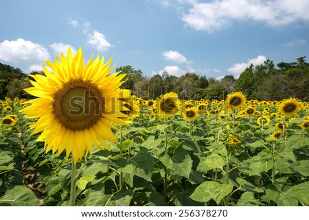 sunflowers Fields at the blue sky - stock photo