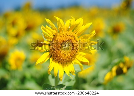 sunflowers flowers yellow background nature green - stock photo
