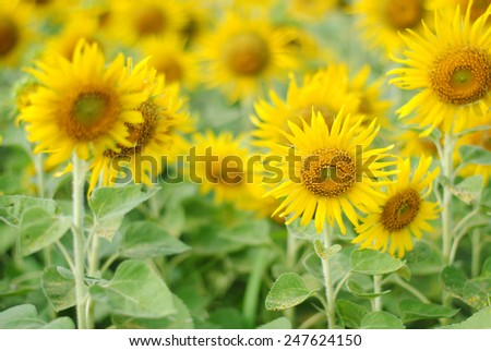 sunflowers flowers yellow wall background nature sky summer sunny green beauty wallpaper - stock photo