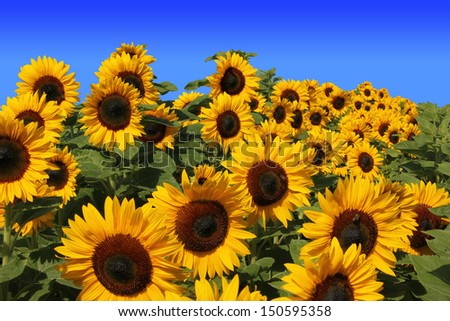 sunflowers full Bloom, against blue sky - stock photo